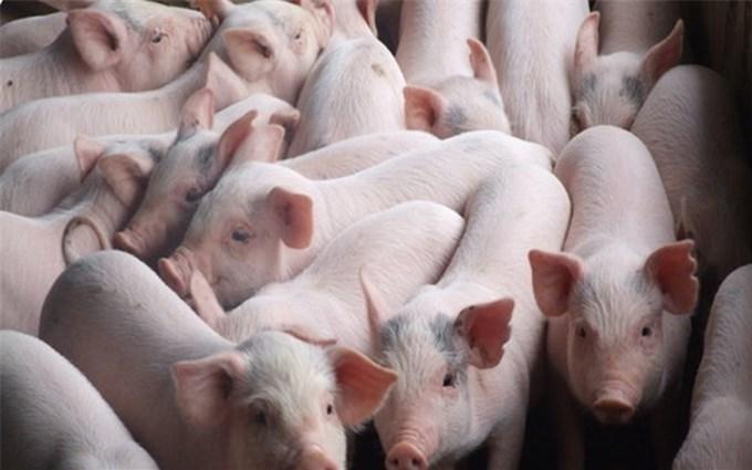 Việt Nam tạm dừng nhập khẩu lợn sống từ Thái Lan