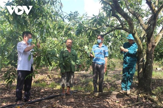 Hàng trăm tấn xoài ở Đắk Nông phải đổ bỏ, xả làm phân bón vì bí đầu ra