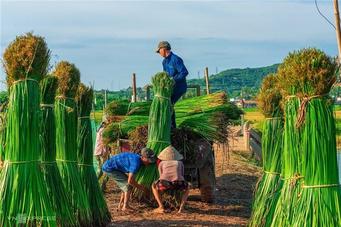 Những bức ảnh đẹp không cưỡng nổi ở làng chiếu hơn 100 tuổi mùa thu hoạch cói