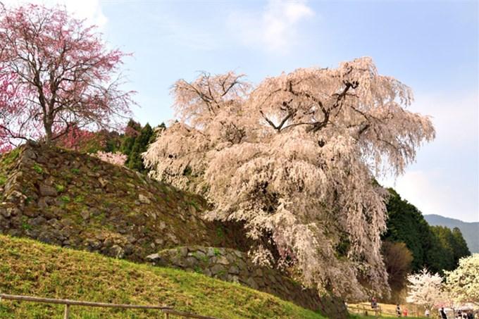 Matabei - cây anh đào khóc 300 tuổi ở Nhật Bản