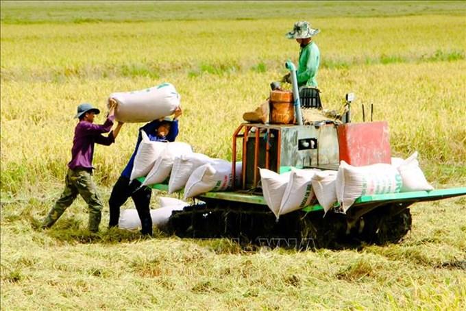 Giá lúa được ghi nhận tiếp tục giảm trong tuần qua