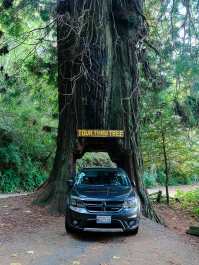 Loạt cây khủng, ô tô cũng có thể chui qua