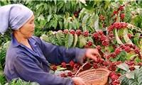Xuất khẩu cà phê đã thu về hơn 2,32 tỷ USD
