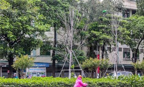 Nỗi buồn cây phong Hà Nội không đỏ lá