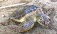 Xử phạt 18 năm tù với 2 đối tượng vận chuyển trái phép rùa biển tại Cà Mau