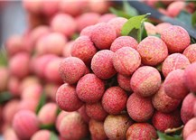 Hai Duong to host teleconference to promote Thanh Ha lychee consumption