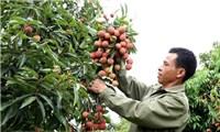 Vải thiều Bắc Giang đang được tiêu thụ thuận lợi