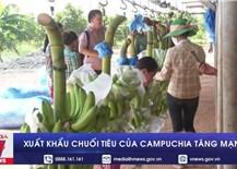 Xuất khẩu chuối tiêu của Campuchia tăng mạnh