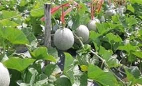 Nông dân trồng dưa lưới ngoài đồng hiệu quả cao tại Quảng Ngãi
