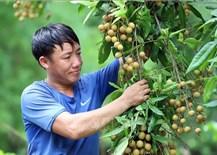 Vùng Nhãn Sông Mã của Sơn La vào vụ thu hoạch