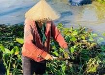 Hà Tĩnh: Sinh lợi từ… bèo tây