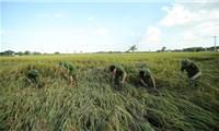 Công an xuống đồng thu hoạch lúa giúp nông dân