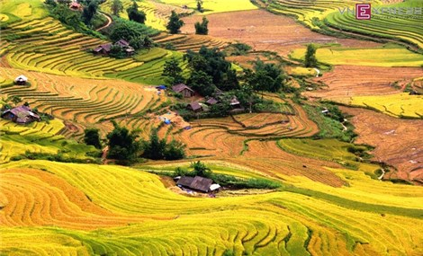 Now is best time to see ripening rice fields in northern Vietnam