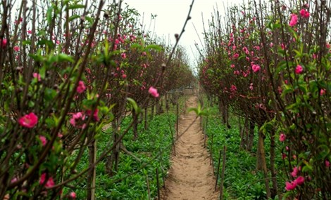 Colourful blossoms bloom in Nhat Tan flower village before Tet