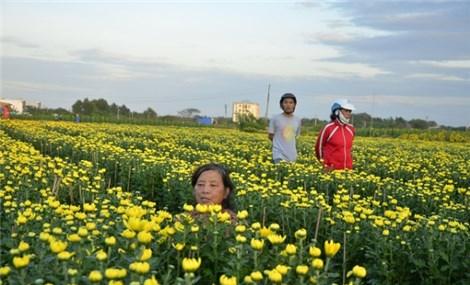 HCM City's flower farms ready for Tet