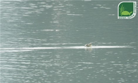 World's rarest turtle's second individual photographed in Dong Mo Lake