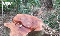 """Ai""""tiếp tay"""" cho lâm tặc đưa gỗ ra khỏi rừng phòng hộ tại Quảng Trị"""
