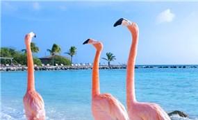 Come to the Aruba flamingo island in the Caribbean