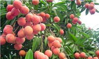 Lychee fruit of May in Viet Nam