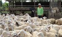 Ninh Thuận: Người chăn nuôi phấn khởi vì giá dê, cừu tăng cao