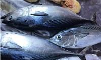 Vietnam's tuna exports increased sharply