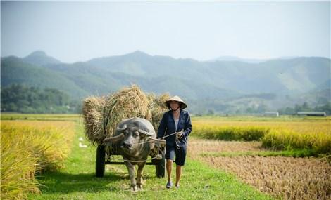 越南义安省那一块地上的安逸成熟之稻米季节