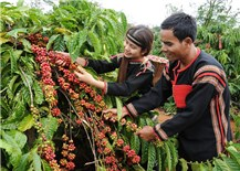 TALK- Làm gì để hỗ trợ cà phê Buôn Ma Thuột phát triển?
