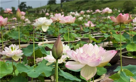 Vườn sen 10.000 chậu ở Thái Bình