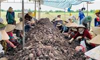 Trung Quốc đồngý xem xét mở cửa cho sản phẩm khoai lang Việt Nam