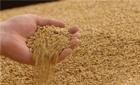 Domestic rice prices fall, Vietnam's export rice prices still lead