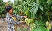 """Hàng trăm tấn xoài ở Đắk Nông phải đổ bỏ, xả làm phân bón vì""""bí"""" đầu ra"""