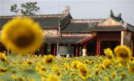 Mê đắm sắc vàng vườn hoa hướng dương trong Hoàng cung Huế