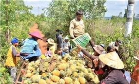 """Gia Lai: Nông dân trồng dứa """"hụt hơi"""" vì không có nơi tiêu thụ"""