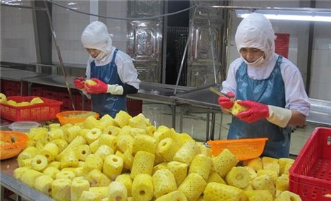 Mùa dứa ngọt lại về với người nông dân Ninh Bình