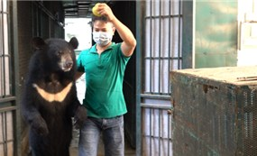 Transferring 4 bears to Vietnam Bear Rescue Center People's Army Online - On June 15, Animals Asia rescued and transferred four bears at the Hanoi Central Circus