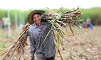 Chính thứcáp thuế chống bán phá giá với đường mía từ Thái Lan
