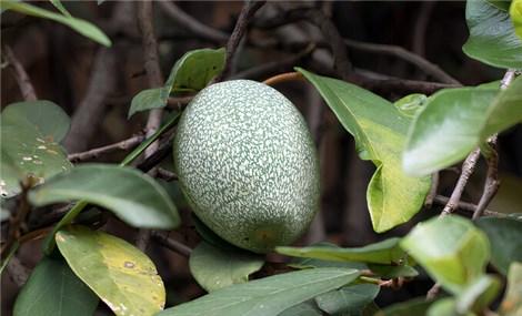 Loài cây quý ở Đài Loan làm ra món thạch thanh mát