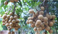 Lô 30 tấn nhãn Hưng Yên đầu tiên được xuất khẩu sang EU