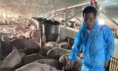 Lợn hơi rớt giá, người nuôi ôm lỗ mỗi con cả triệu đồng: Ai hưởng lợi?