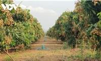 Khó xuất khẩu sang Thái Lan, Campuchia tìm cách bán 50.000 tấn nhãn sang Việt Nam