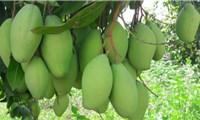 Campuchia xuất khẩu xoài sang Việt Nam nhiều nhất