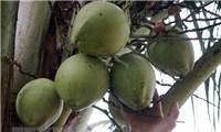 Lập các tổ thu mua hỗ trợ nông dân trồng dừa ở tỉnh Bến Tre