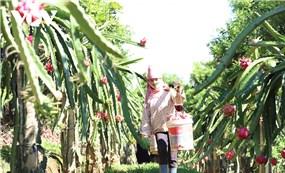 Sơn La xuất khẩu 10 tấn thanh long ruột đỏ sang thị trường Nga
