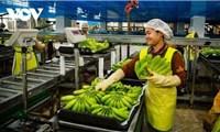 Xuất khẩu nông sản của Campuchia tăng vọt bất chấp dịch bệnh