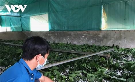 Chuyển đổi từ cà phê, hồ tiêu sang trồng dâu cho thu nhập cao bất ngờ