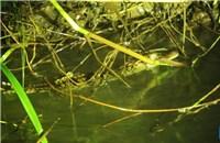 Phát hiện 8 con cá sấu Xiêm cực quý hiếm ở Campuchia