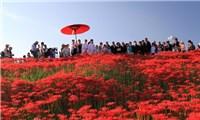 Hoa bỉ ngạn nở đỏ rực trời Nhật Bản