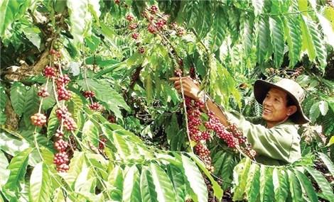 Đắk Nông: Công nhận vùng sản xuất cà phê ứng dụng công nghệ cao đầu tiên