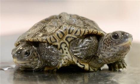 Con rùa kỳ lạ có hai đầu và sáu chân