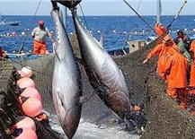 Xuất khẩu cá ngừ sang Trung Quốc tăng ấn tượng, xuất siêu tăng dần về cuối năm